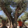 Olea-europaea-Pais-Ejemplar-ryd-costa-daurada-olivo
