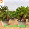 Cycas-Revoluta-ryd-costadaurada-decoracion-palmeras