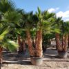 Washingtonia-Robusta-ryd-costadaurada