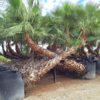 Washingtonia-Robusta-ryd-costadaurada-palmaceas