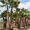 Washingtonia-Robusta-ryd-costadaurada-palmeras-palms-diferentes