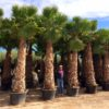 Washingtonia-Robusta-ryd-costadaurada-palms